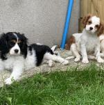 Cavalier King Charles [sold].