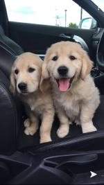 Stunning golden retriever pups for sale.