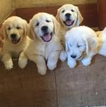 Stunning IKC Golden retrievers in Wexford for sale.