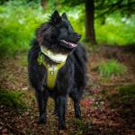 Eurasier - 10.5 Month Old Female for sale.