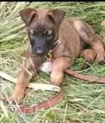 Milley Belgium Malinois [sold].