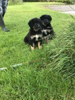 Bernese x for sale.