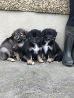 Bernese mountain x for sale.