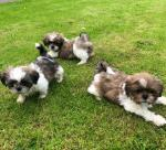 Shihtzu puppies male and female for sale.