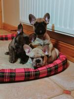 IKC French Bulldog Male for sale.