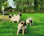 Ikc Registered Pug Pups for sale.