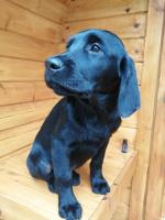 Goldador puppies in Wexford for sale.