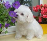 Beautiful Bichon Frise puppies for sale for sale.