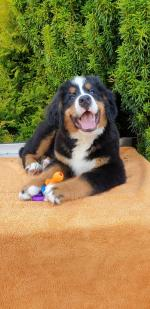 Beautiful IKC Bernese Mountain Dog puppies for sale.