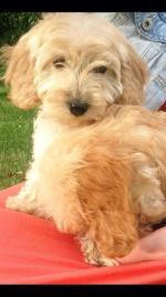 Cockapoo puppies for sale.