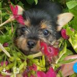 Yorkshire terrier puppies [sold].