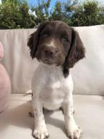Springer Spaniel Pups [sold].
