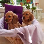 Cocker spaniels for sale.