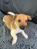 Jackrussell terrier pups for sale.
