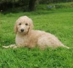Irish Doodle puppies for sale.