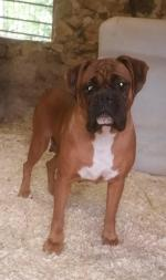 IKC Boxer Female for sale.