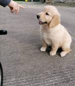 IKC Golden Retriever for sale.