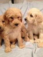 Irish Doodle Puppies for sale.