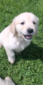 **Beautiful Golden Retriever** for sale.