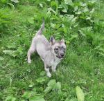 Saarloos Wolfdog pup for sale.