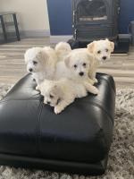 Bichon Frise Puppy for sale.