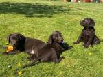 IKC Chocolate Labrador Puppies for sale.