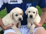 Golden Labrador Puppies for Sale for sale.