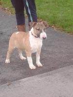 Mini Bullterrier [sold].