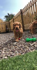 Cockapoo Puppies in Cork for sale.