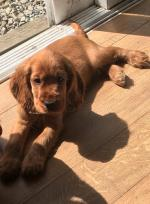 Cocker spaniel puppies in Cork for sale.