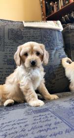Cavapoo puppies for sale.