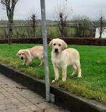 Golden labradors for sale.