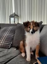 Rough collie/ Lassie for sale.