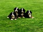 Beautiful bernese mountain dog puppies for sale.