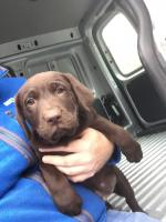 Chocolate Labradors in Offaly for sale.