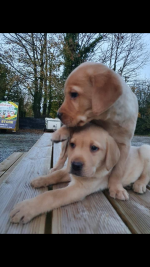 Golden Labrador for sale.