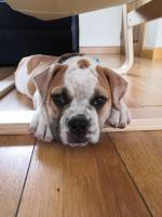 Old English Bulldog [sold].
