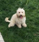 Beautiful Cavapoo Puppy [sold].