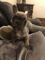 French bulldog female for sale.