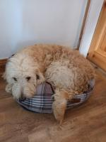Male golden doodles in Carlow for sale.
