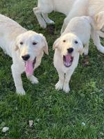 Labrador/retriever only males left for sale.