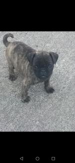 PUG puppy €950 for sale.