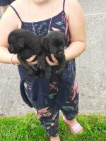 PUREBRED PATTERDALE PUPPIES [sold].