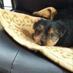 Yorkshire terrier puppy for sale.