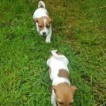 Jack Russell  x West Highland for sale.