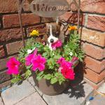 Boston terrier x jack russle for sale.