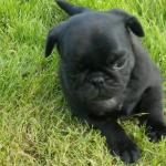 Pugs for sale.