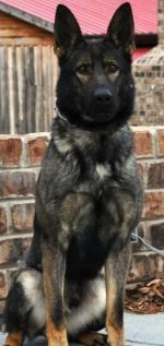 Active German Shepherd for sale.