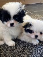 Chihuahua x Japanese chin pups for sale.
