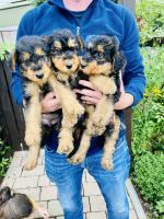 Airedale Terrier Puppies for sale.